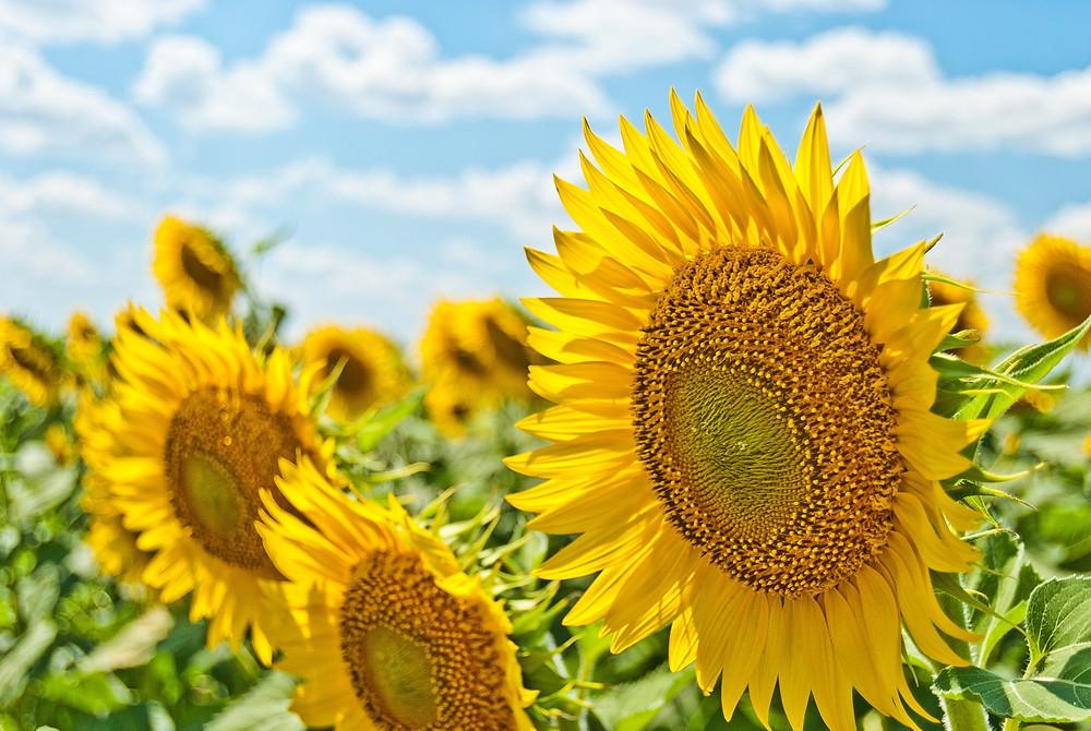 Sun flowers in bloom on mysouls.co.uk