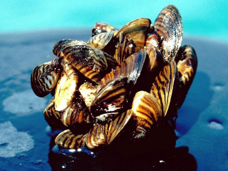 Ontario - help from citizen scientists to fend off zebra mussels