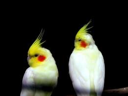 Cockatiels