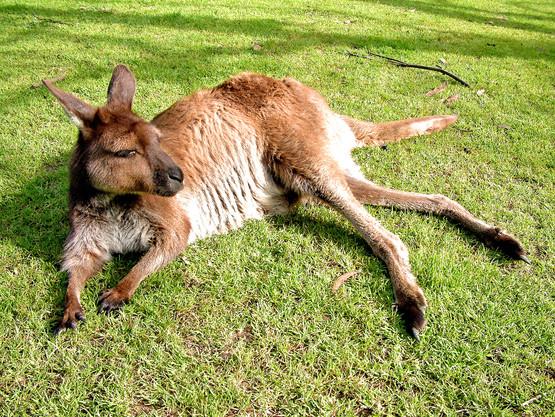 Free Photos of Kangaroos