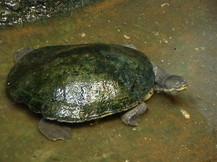 Murray Tortoise