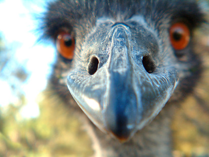 Free Emu Photographs