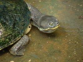 Murray River Tortoise