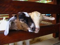 Goat Babies