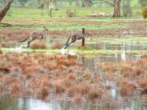 Kangaroos in Floods