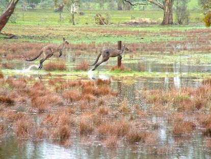 Kangaroos in Floods