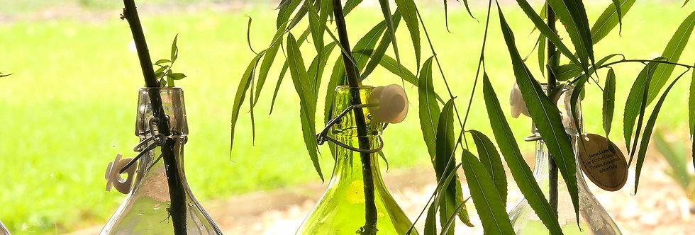 Indoor Weeping Willow Tree (Salix Babylonica)