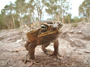 The Cane Toad