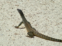 Free Images Lizards
