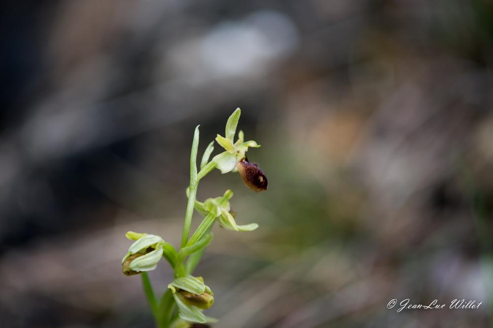 Ophrys litigieux 88C_1602