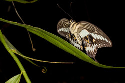 RESTING BUTTERFLY (Papilio gigon)