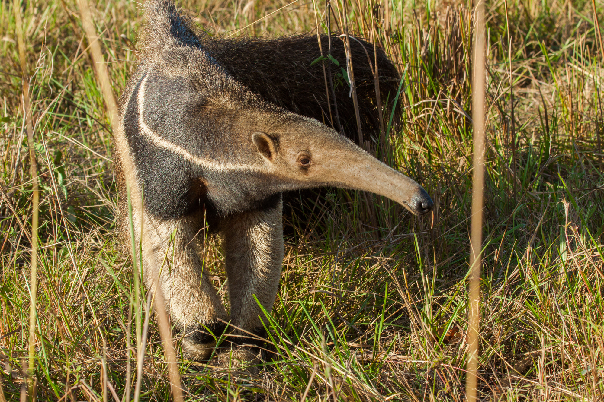 GIANT ANTEATER (M. tridactyla)