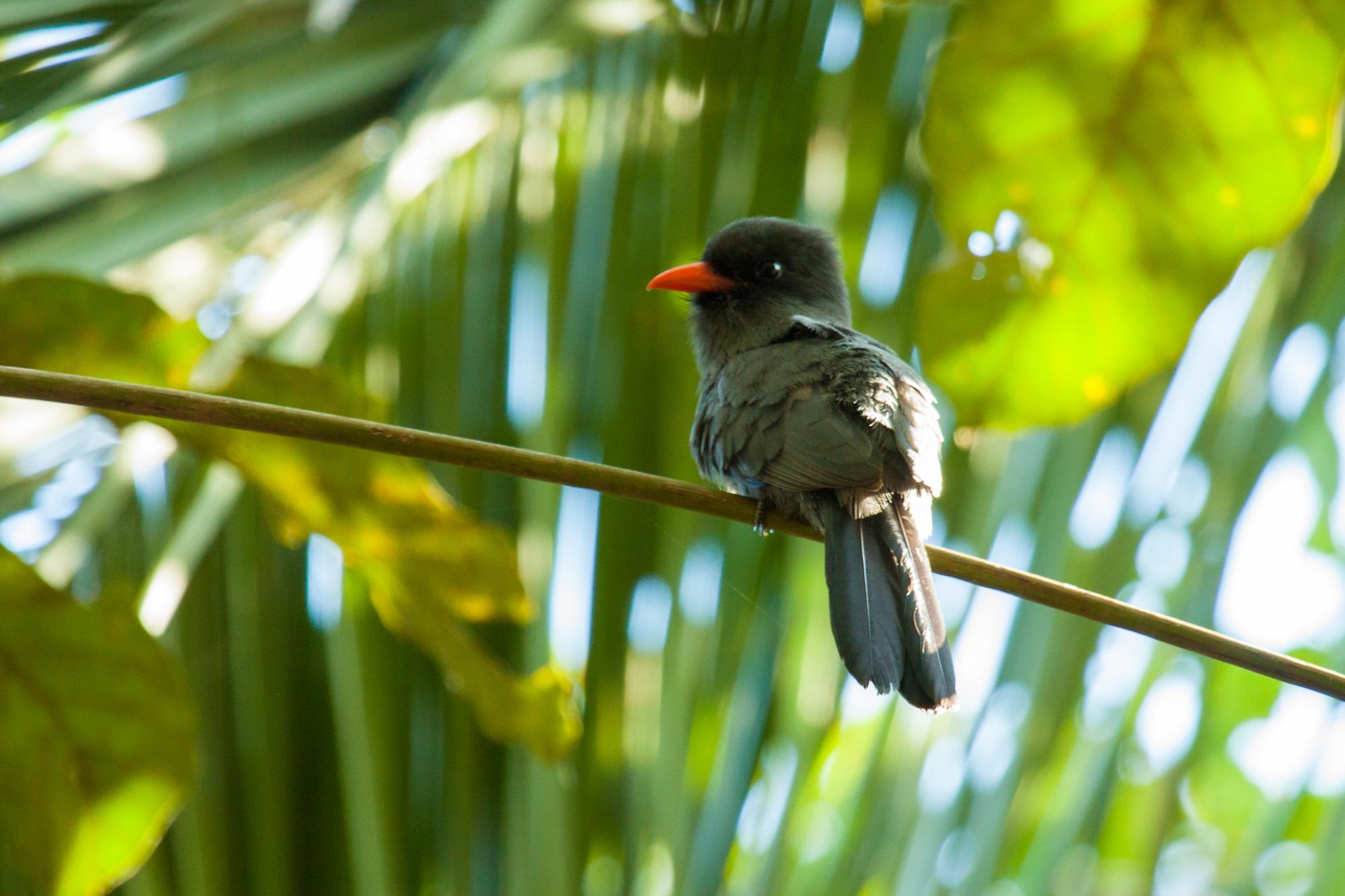BLACKFRONTED NUNBIRD (M. nigrifrons)