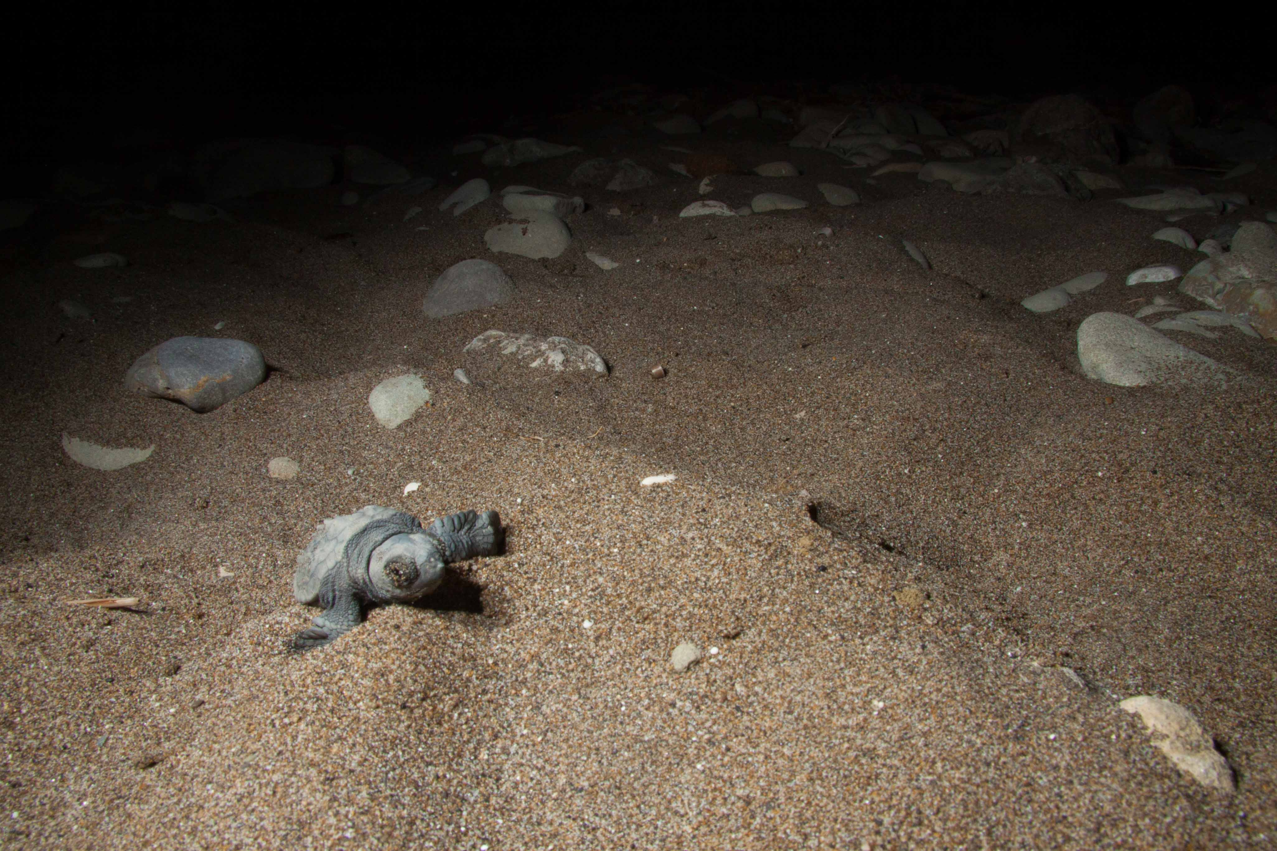 HATCHLING APPROACHING TO WATER