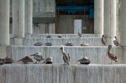 THE PARLIAMENT OF PELICANS