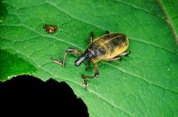 SNOUT BEETLE (Curculionidae)