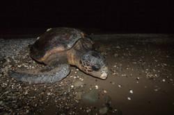 LOGGERHEAD SEA TURTLE (Caretta caretta)