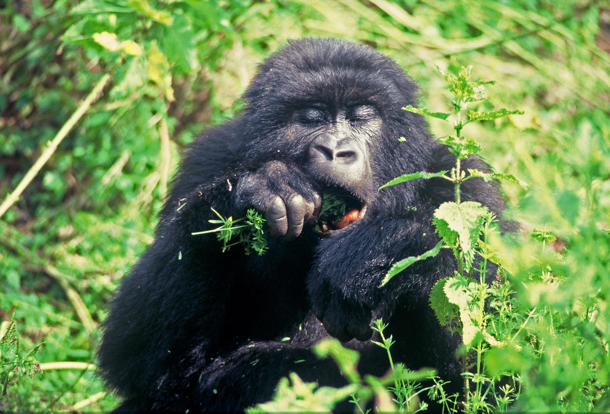 EATING CELERY (Gorilla gorilla beringei)