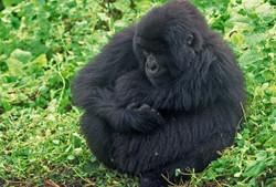 FURBALL (Gorilla gorilla beringei)