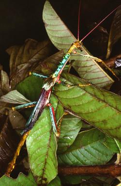 PHASMATIDAE (Achrioptera punctipes punctipes)