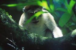 LONGTAIL MACAQUE (Macaca fascicularis)