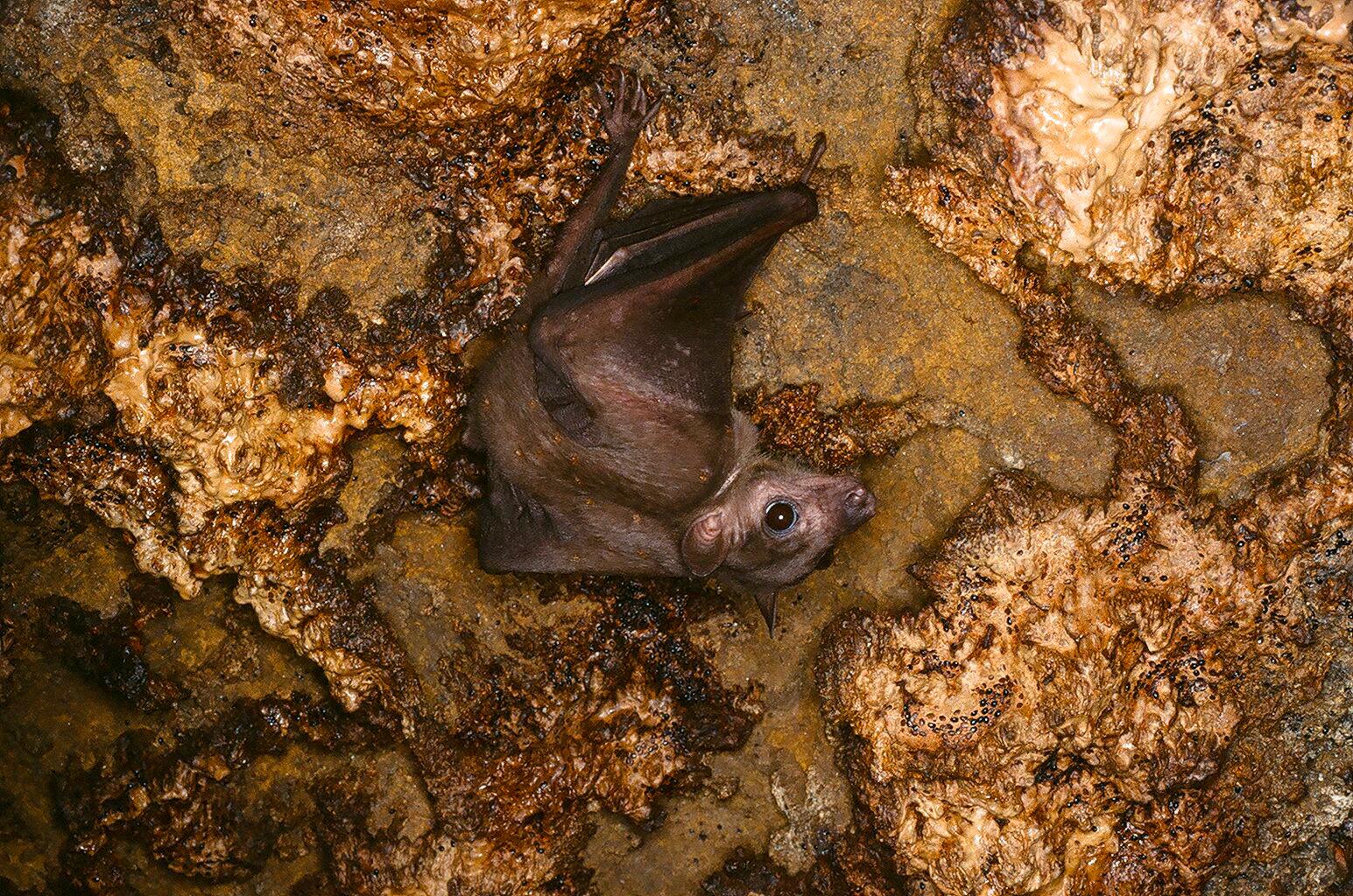 JUVENILE EGYPTIAN FRUIT BAT (Rousettus aegyptiacus)