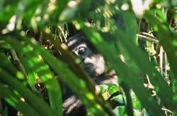 JUVENILE MOUNTAIN GORILLA (Gorilla beringei beringei)