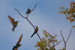 RAINBOW BEEEATERS (Merops ornatus)