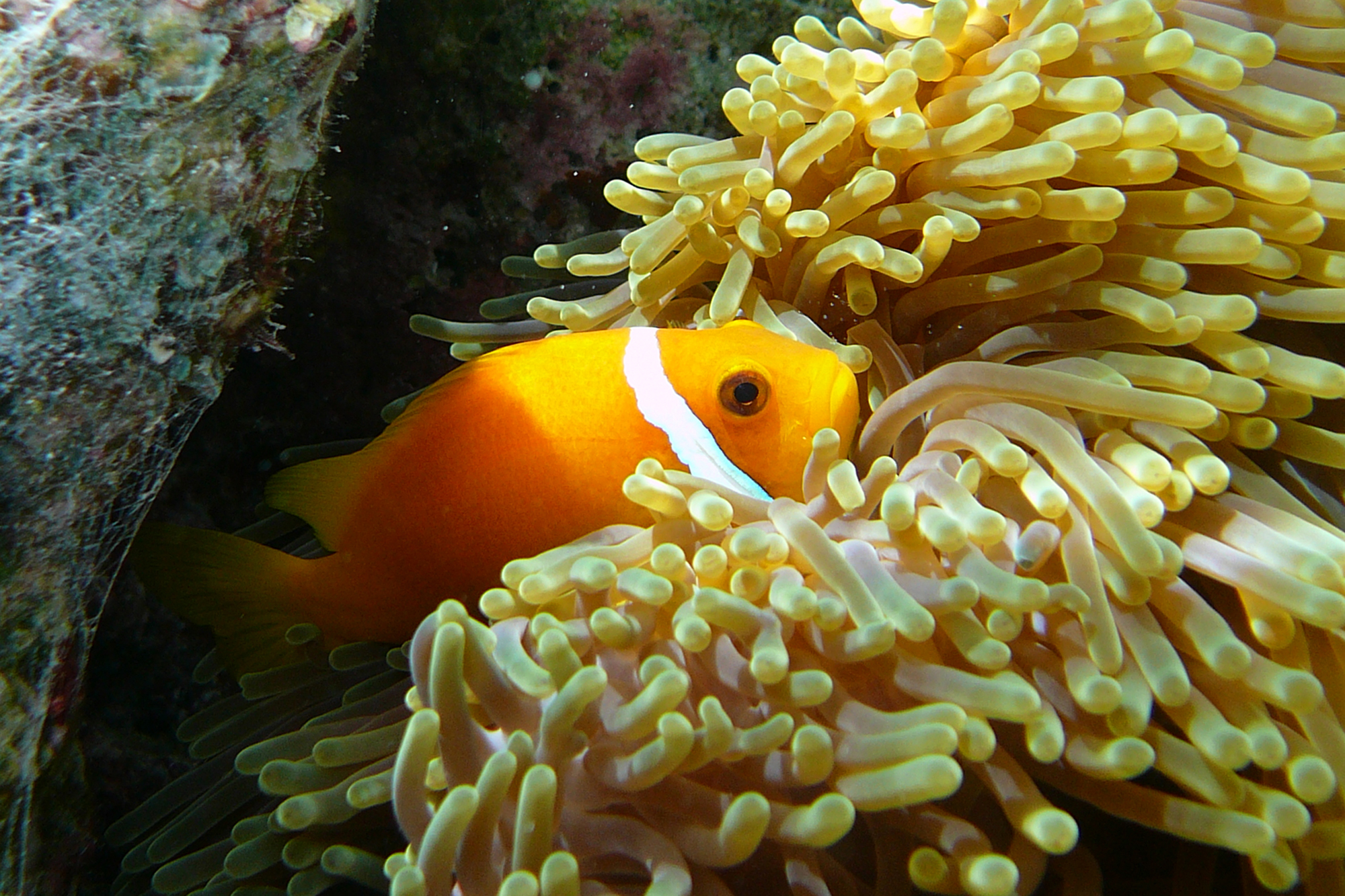MALDIVE ANEMONEFISH (Amphiprion nigripes)