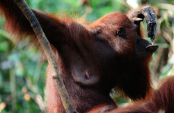 DRINKING (Pongo pygmaeus)