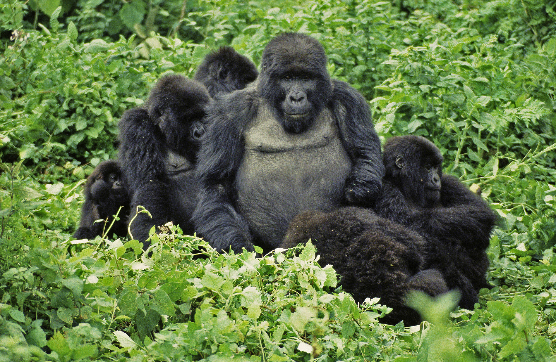 FAMILY PORTRAIT (Gorilla gorilla beringei)