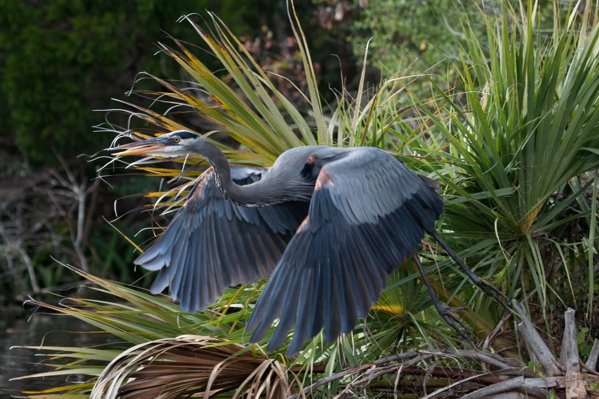 GREAT BLUE HERON (Ardea_herodias)