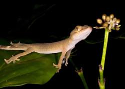 HALFLEAF FINGER GECKO (Hemidactylus frenatus)