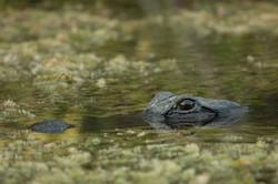 OBSERVER (Alligator mississippiensis)