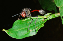 RED HEADED WASP