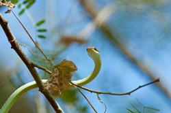 PAINTED BRONZEBACK (Dendralaphis pictus)