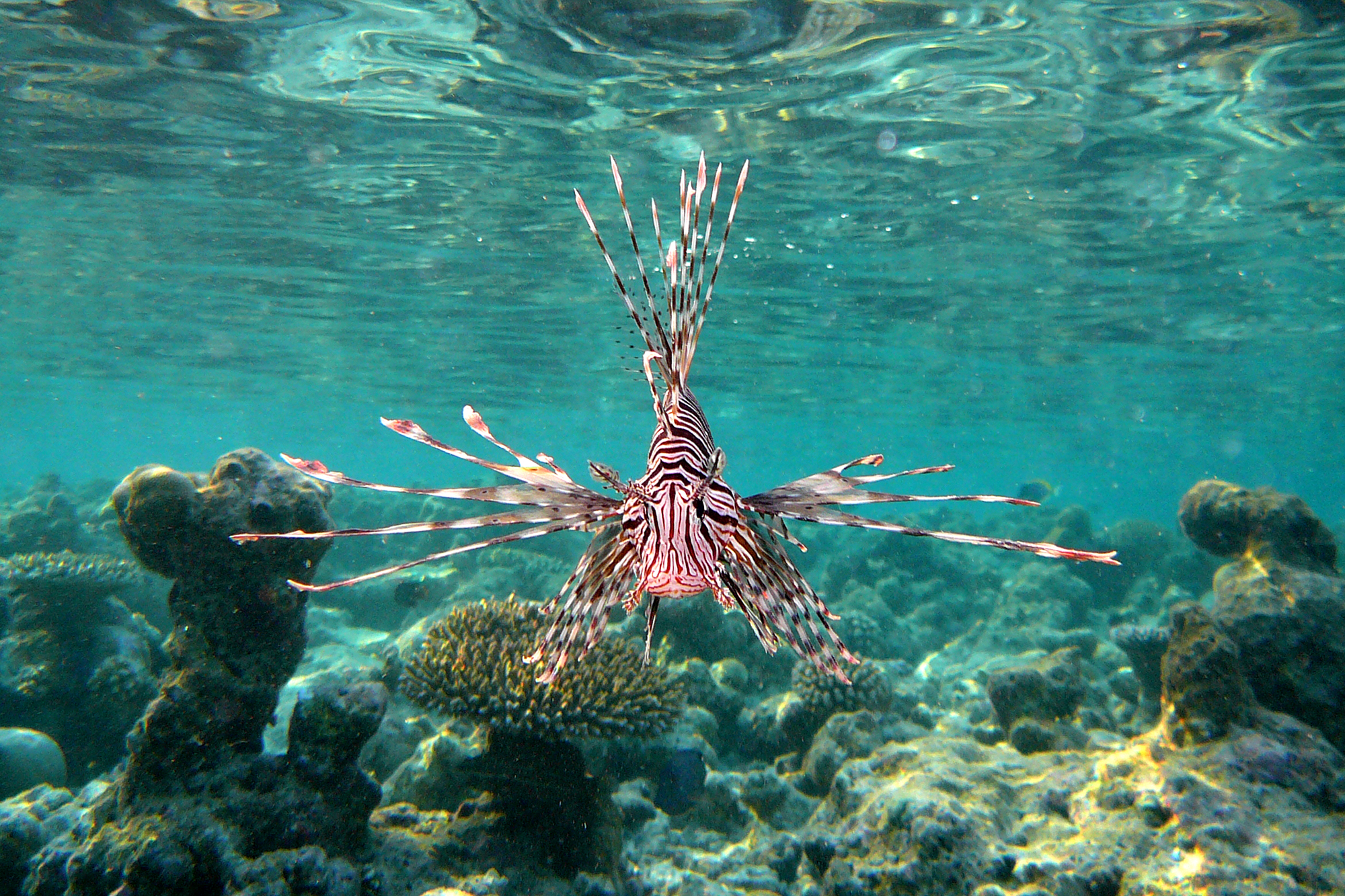 LION FISH (Pterois miles)