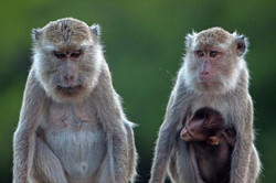 MACAQUE FAMILY (Macaca fascicularis)