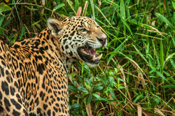 SHOWING THE TEETH (P. onca)