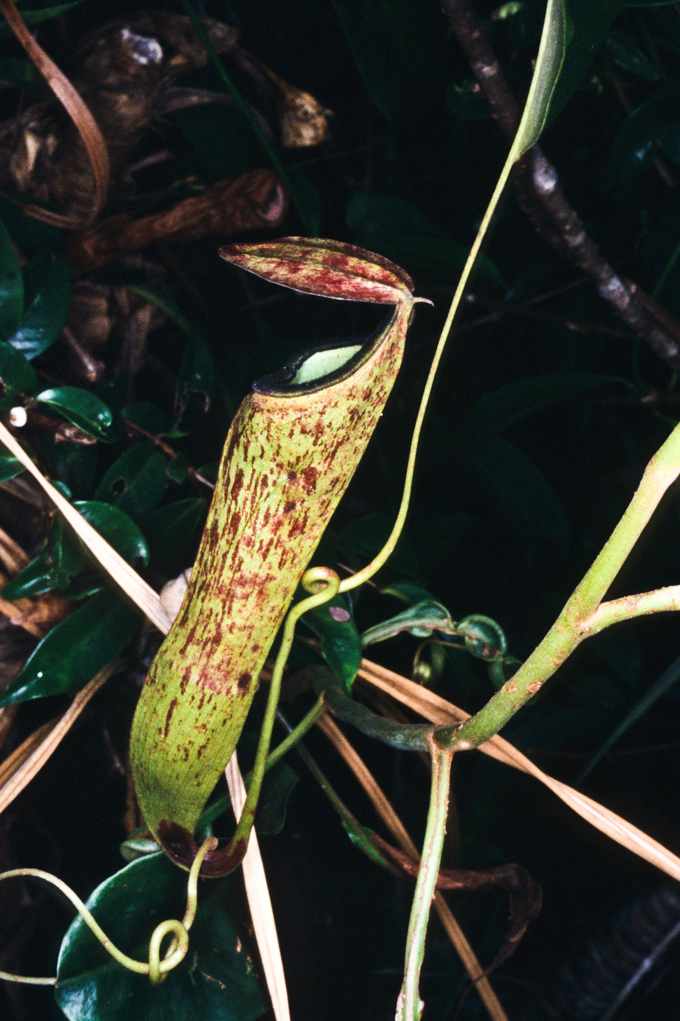 NEPHENTES PLANT
