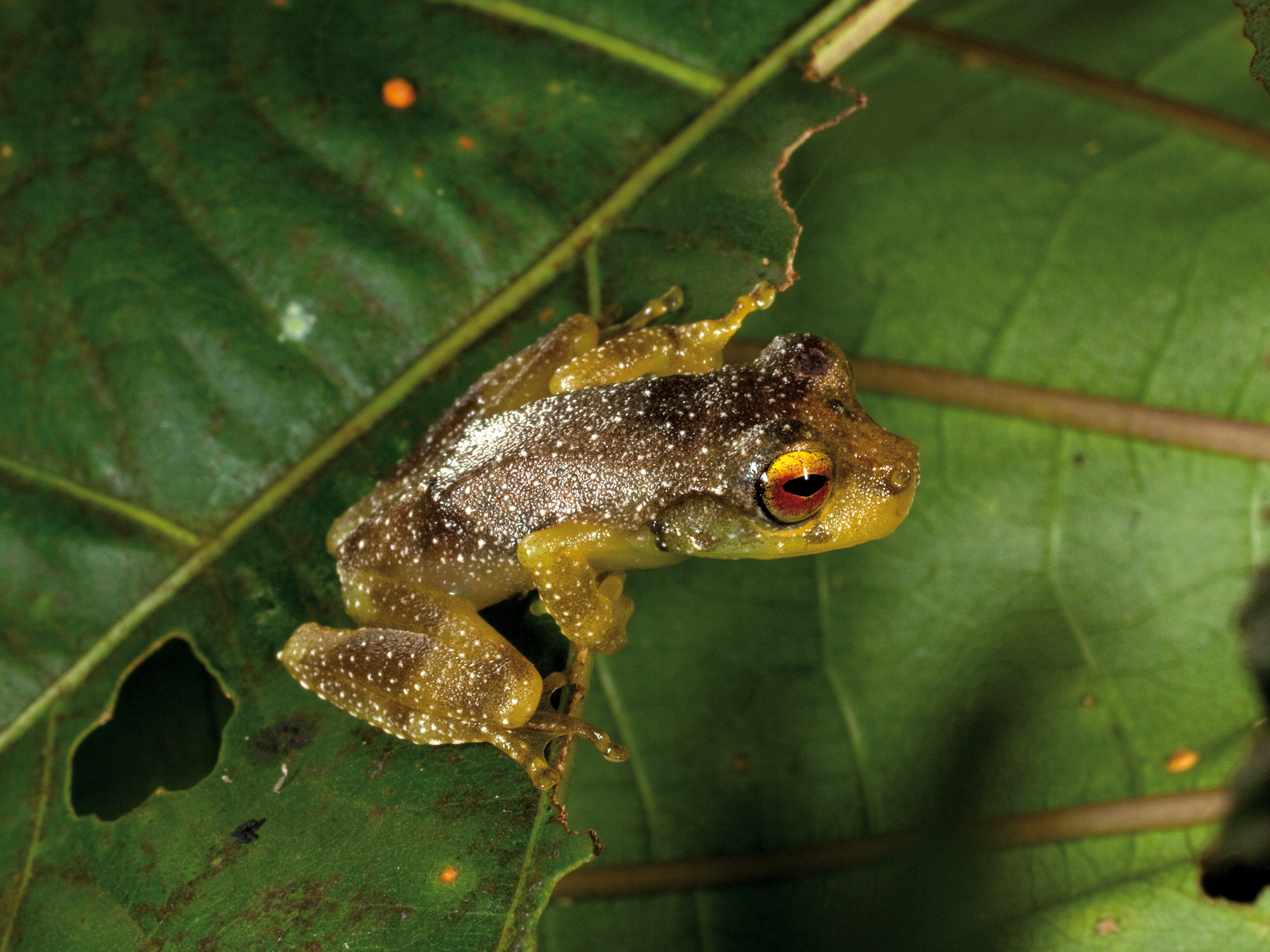 FRINGED TREE FROG (Litoria eucnemis)