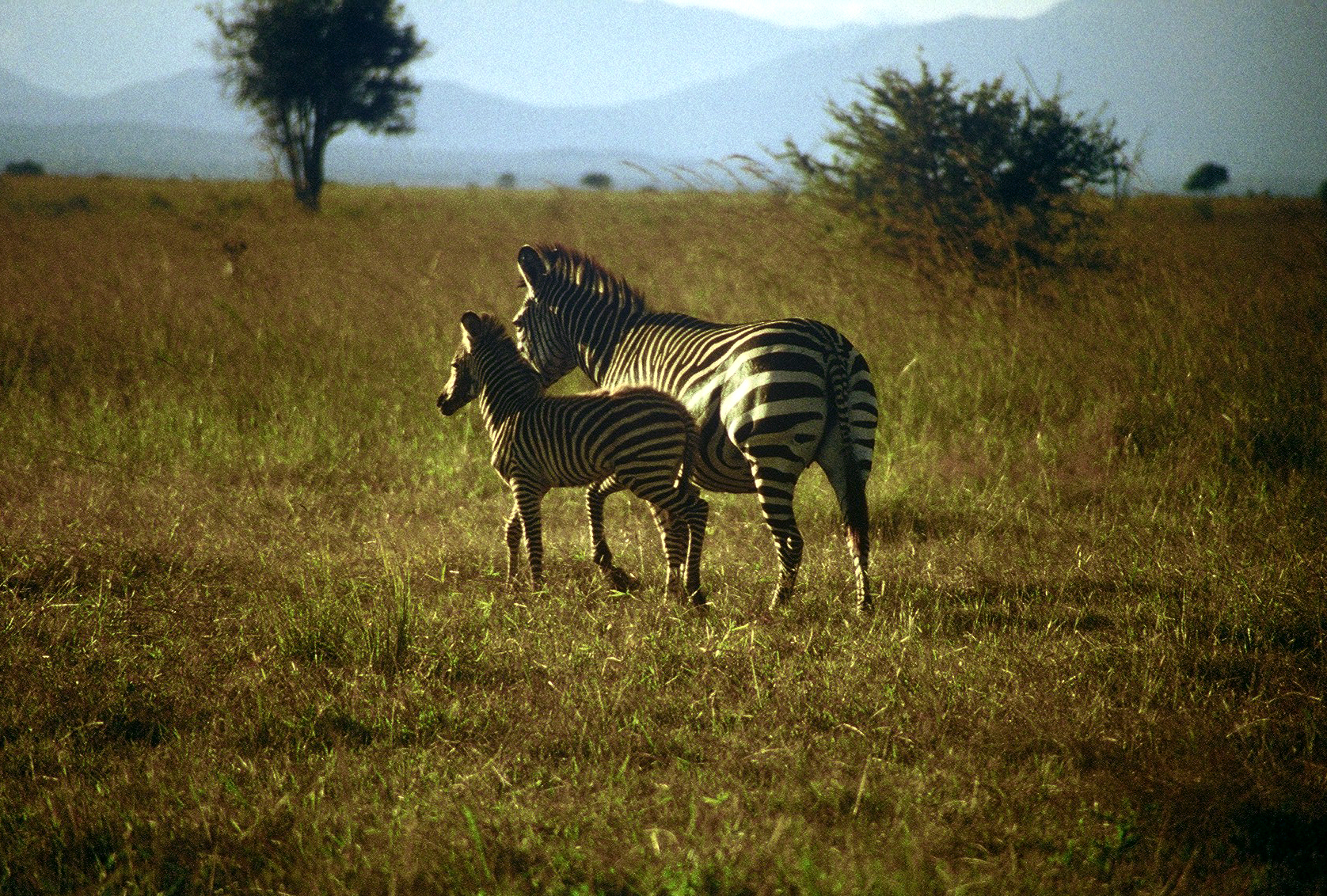 PLAINS ZEBRA WITH PUP (Equus quagga)