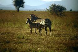 PLAINS ZEBRA WITH PUP (Equus quagga)