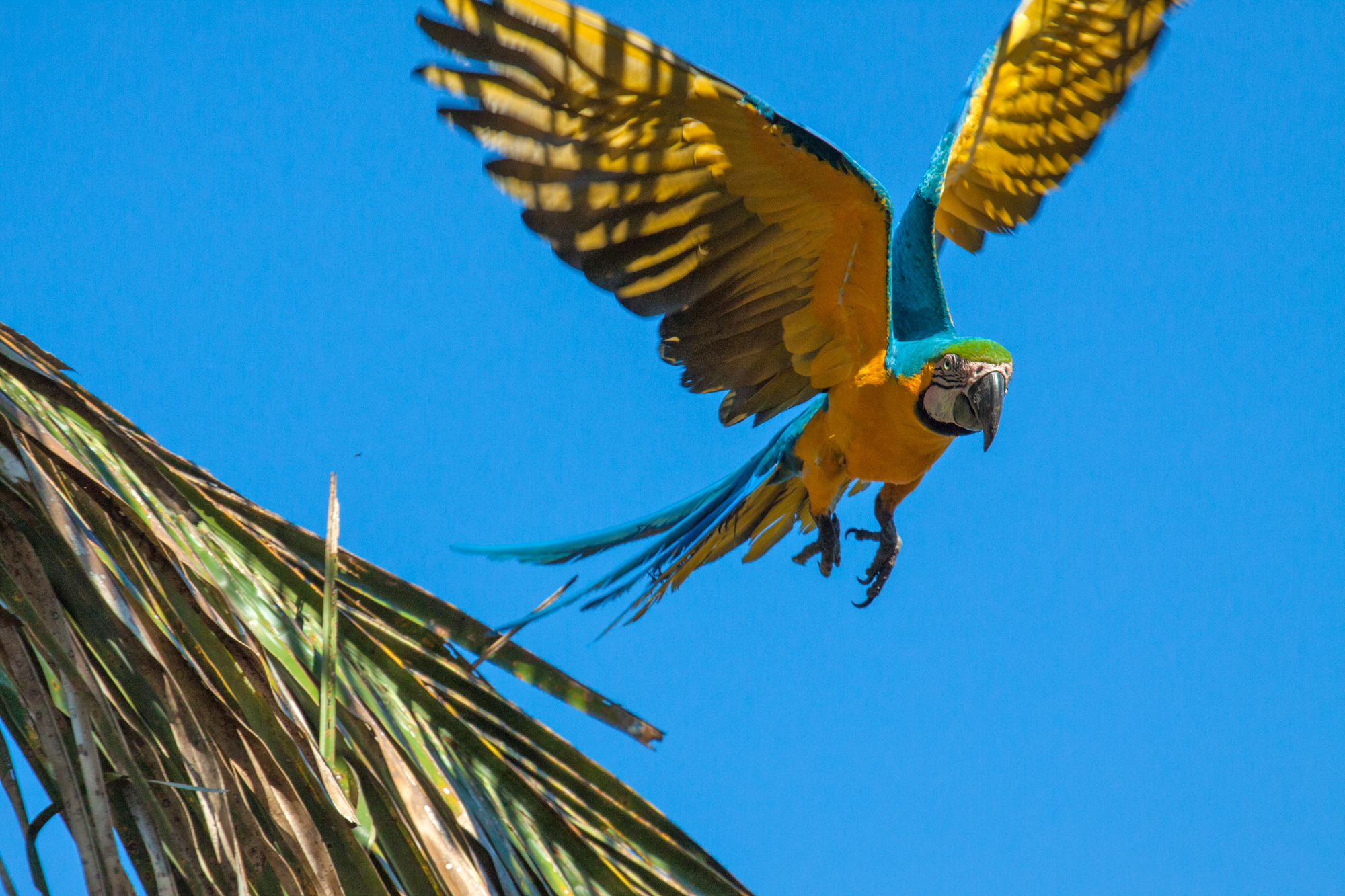 BLUE AND YELLOW MACAW (Ara ararauna)