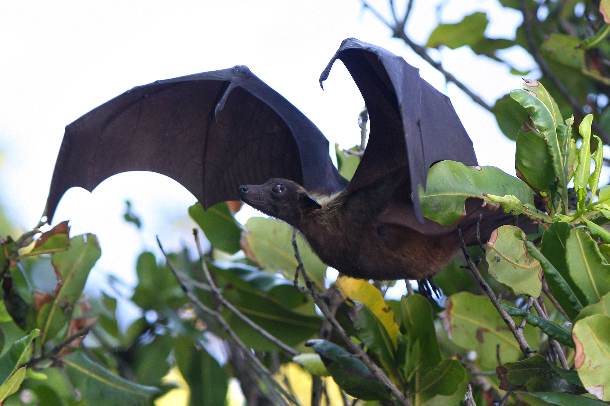 INDIAN FLYING FOX (Petropus giganteus ariel)