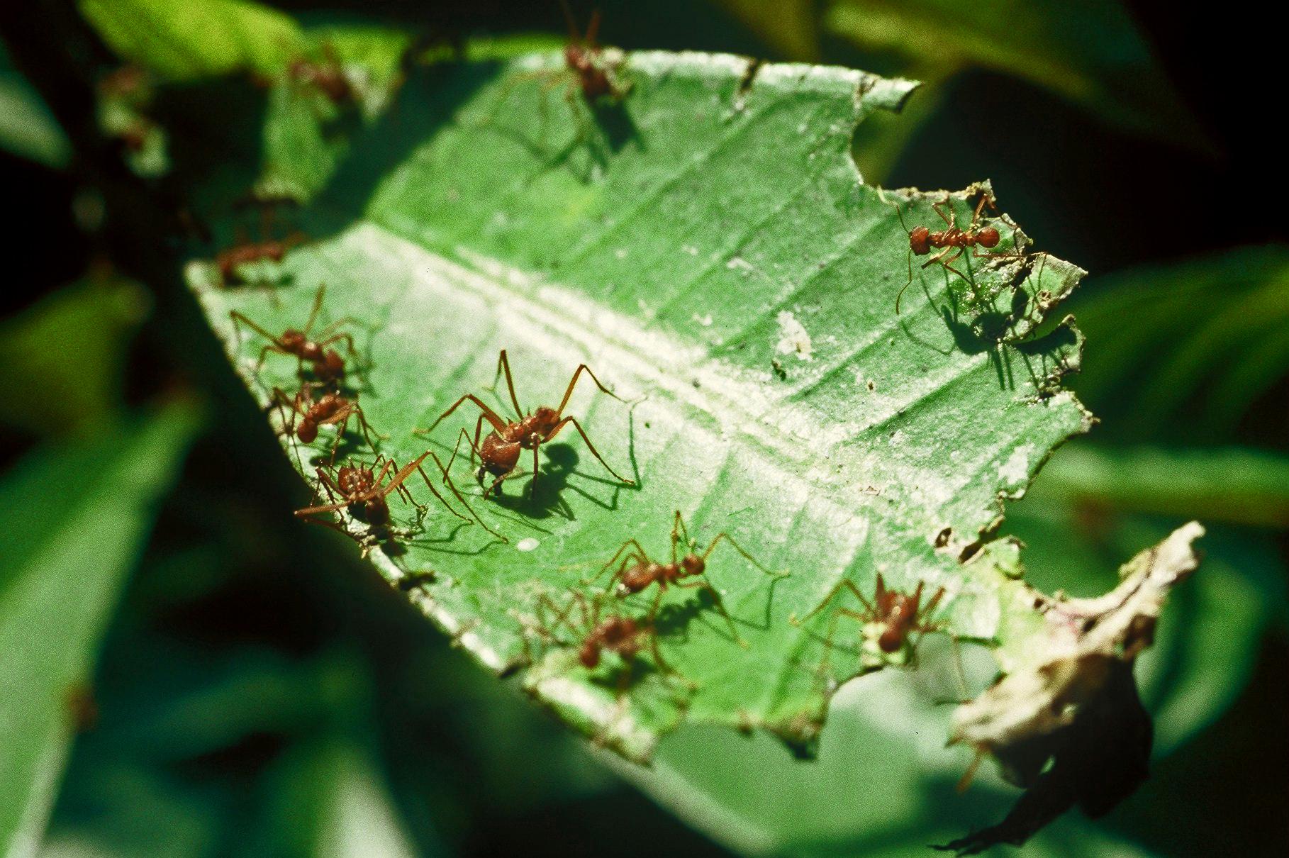 LEAF CUTTING ANTS (Atta sp.)