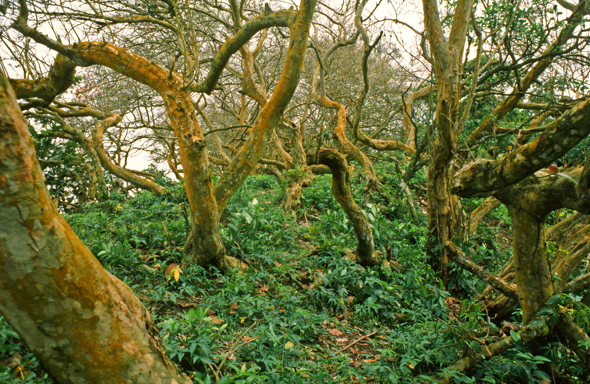 YELLOW SKINNED TREES