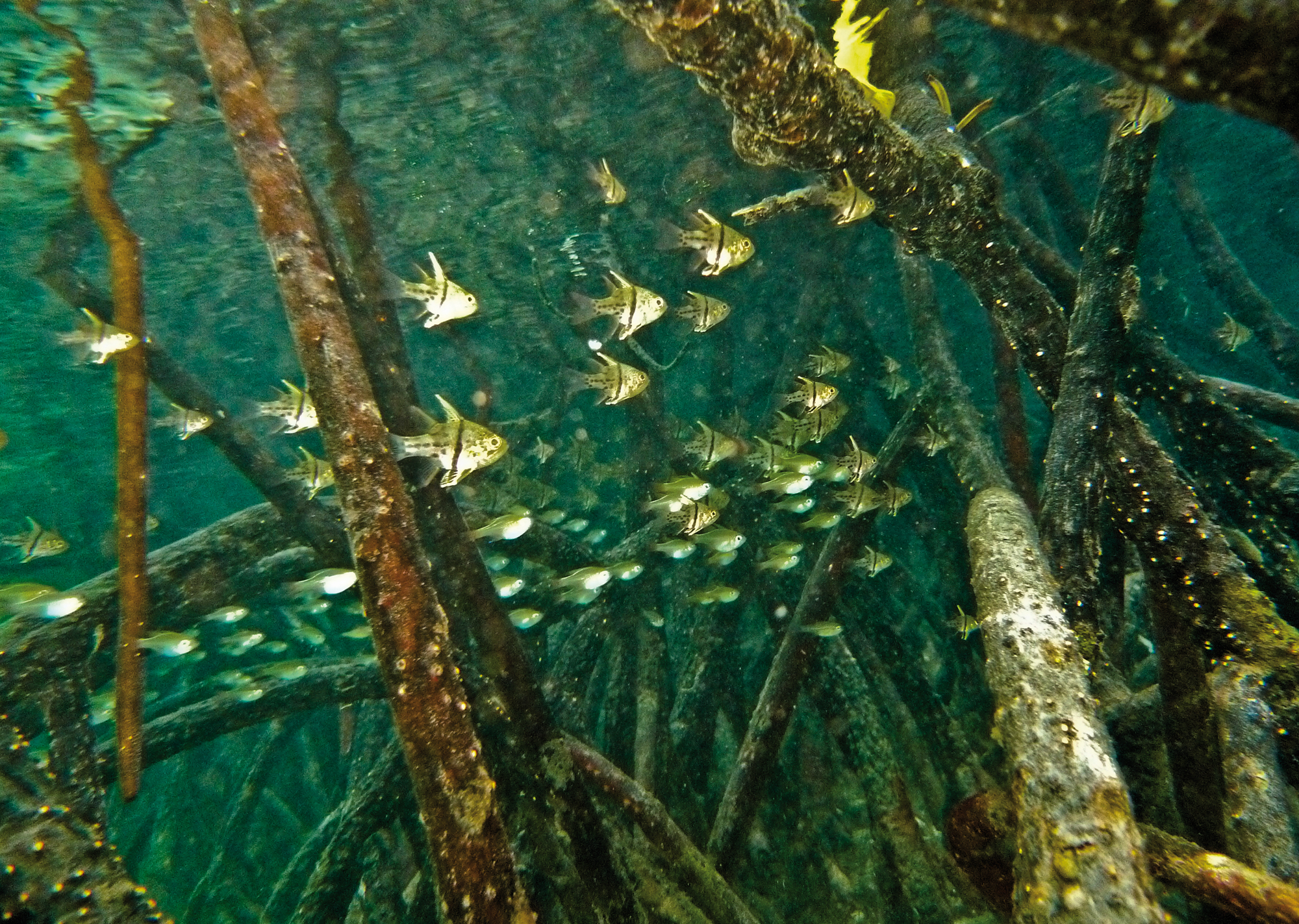 FOREST OF THE CARDINALFISHES (Sphaeramia orbicularis)