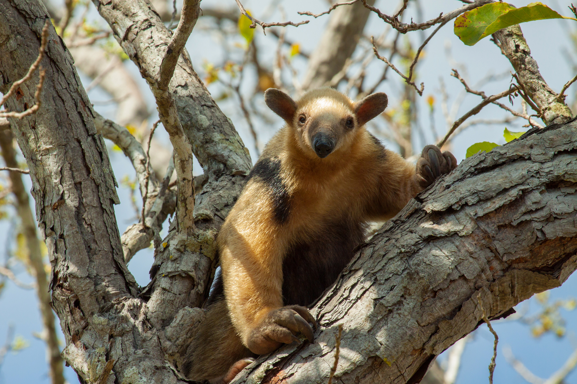 NORTHERN TAMANDUA (T. mexicana)