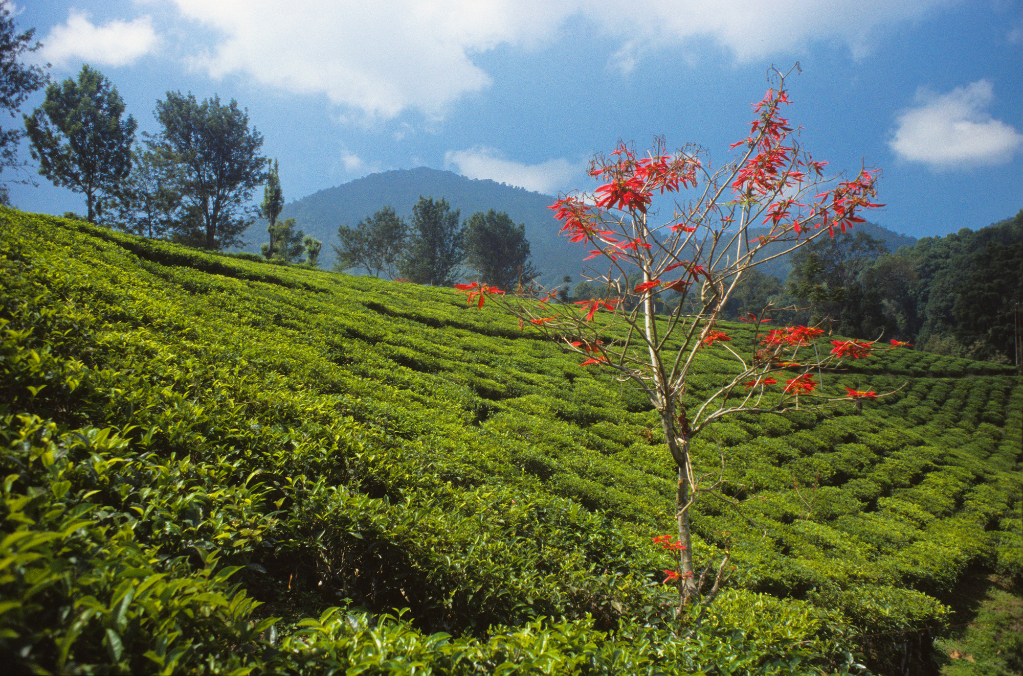BLACK TEA FIELDS